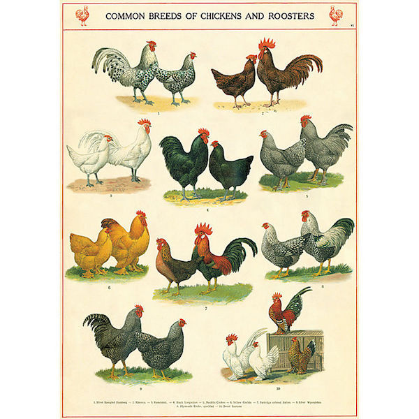 Plakat-chickens-and-roosters