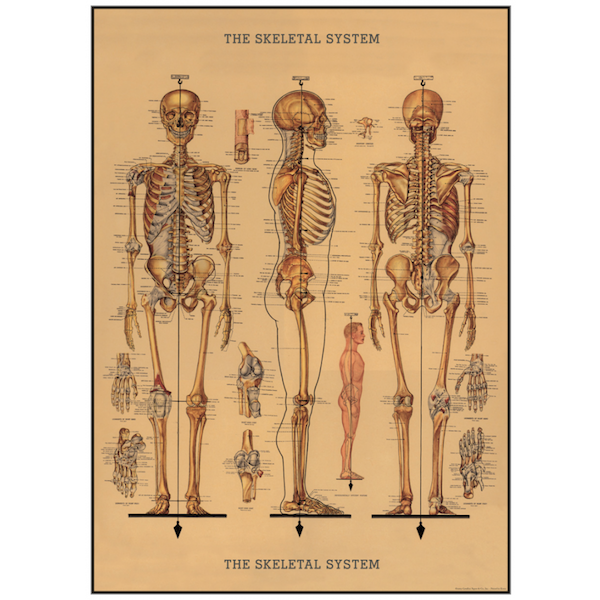 Plakat-the-skeletal-system