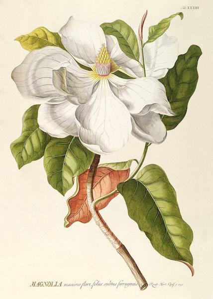 magnolia-plakat-beau-marche