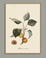 Plakat Abricot 3607