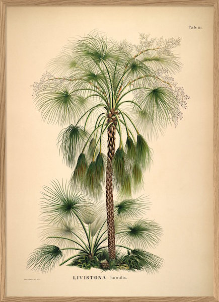 Palme Plakat Livistona Humilis